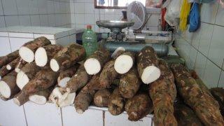 Manioc récolté en Amazonie au Brésil