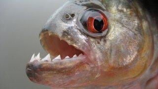 Piranha en Amazonie au Brésil
