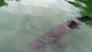 Le piraruçu un poisson géant d'Amazonie