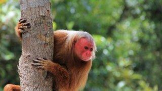 Singe à tête rouge en Amazonie au Brésil