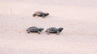 Bébés tortues sur une plage au Brésil