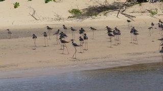 Oiseaux du Delta du Parnaiba au Brésil