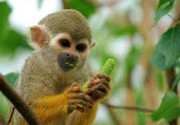 Petit singe en Amazonie au Brésil