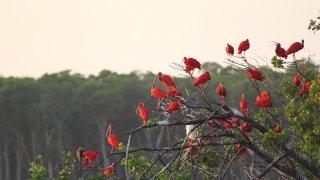 Les ibis rouges du Delta du Parnaiba au Brésil
