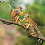 Singes écureuils d'Amazonie au Brésil