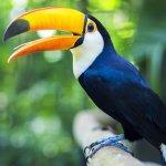 Toucan, oiseau du Brésil